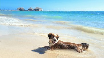 Australian Sheppard laying at the beach in the Caribbean in the Dominican Republic.